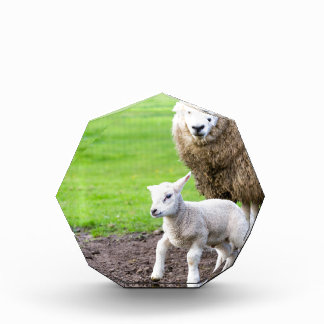 Mother sheep and newborn lamb in meadow acrylic award