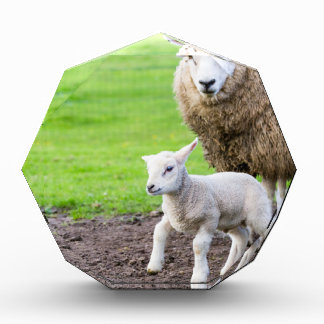 Mother sheep and newborn lamb in meadow award