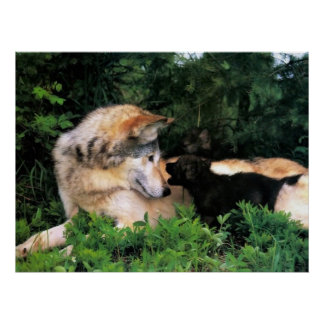 MOTHER WOLF LISTENS TO PUPS POSTER