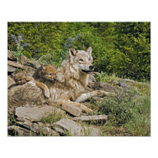 Mother Wolf with 2 Cubs Poster