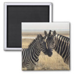 Mother zebra and young zebra 2 inch square magnet