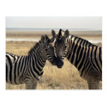 Mother zebra and young zebra postcards
