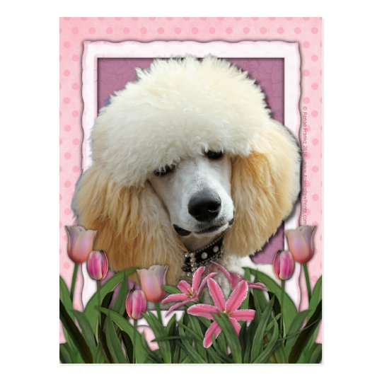 Mothers Day - Pink Tulips - Poodle - Apricot Postcard
