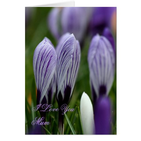 Mother's Day Spring Crocuses card