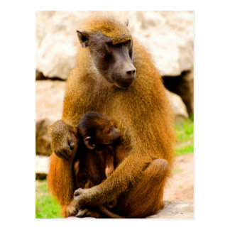 Mothers love animals baboons postcard