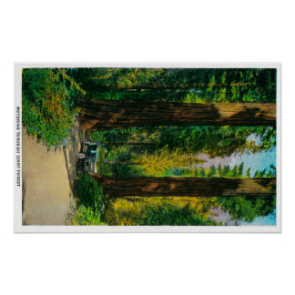 Motoring Through Giant Forest, Redwoods Print