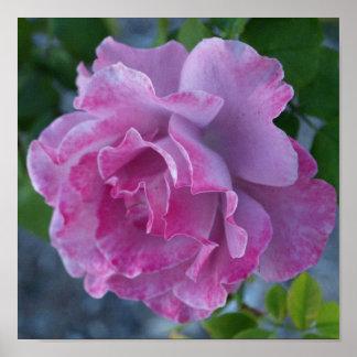 Mottled pink rose posters