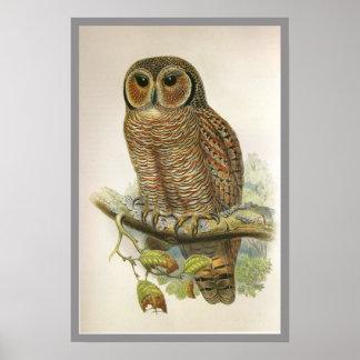 Mottled Wood Owl Poster