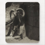 Mouflon Wild Sheep Scratching 1 Antiqued Mouse Pad