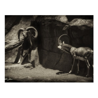Mouflon Wild Sheep Scratching 1 Antiqued Post Cards