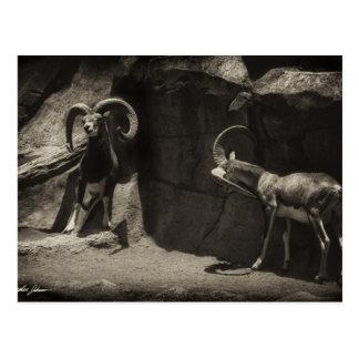 Mouflon Wild Sheep Scratching 1 Antiqued Postcard