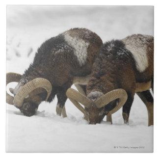 Mouflons en el invierno, Alemania Azulejo Cuadrado Grande