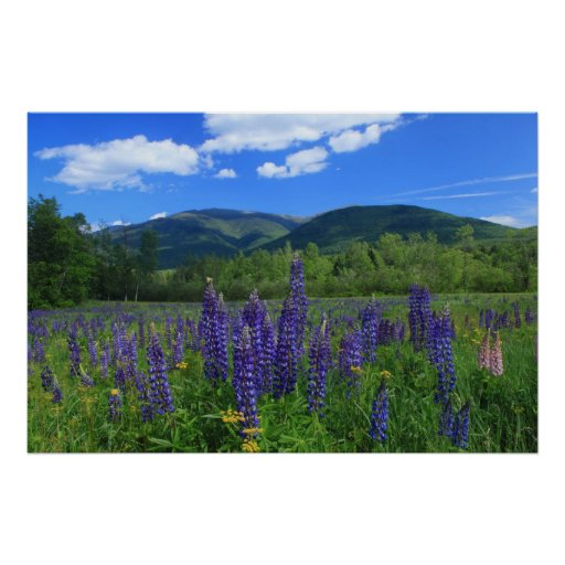 Mount Adams and Lupines Presidential Range Poster