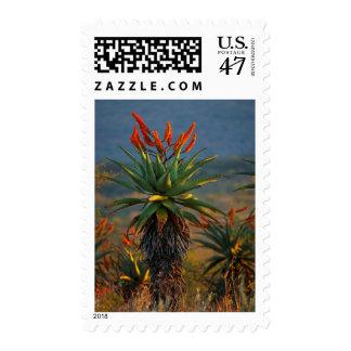 Mountain Aloe (Aloe Marlothii Berger) 2 Postage