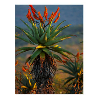 Mountain Aloe (Aloe Marlothii Berger) 2 Postcard
