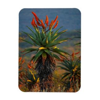 Mountain Aloe (Aloe Marlothii Berger) 2 Rectangular Photo Magnet