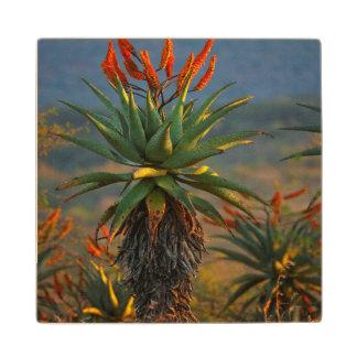 Mountain Aloe (Aloe Marlothii Berger) 2 Wood Coaster