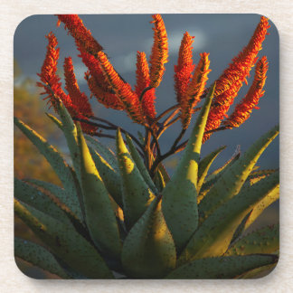 Mountain Aloe (Aloe Marlothii Berger) Coaster