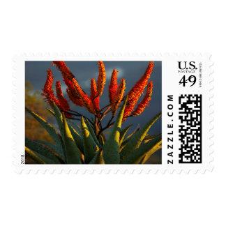 Mountain Aloe (Aloe Marlothii Berger) Postage
