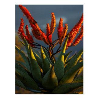 Mountain Aloe (Aloe Marlothii Berger) Postcard