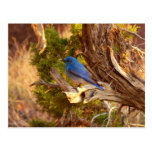 Mountain Bluebird at Arches National Park Postcard