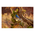 Mountain Bluebird at Arches National Park Poster