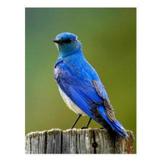 Mountain Bluebird Postcard