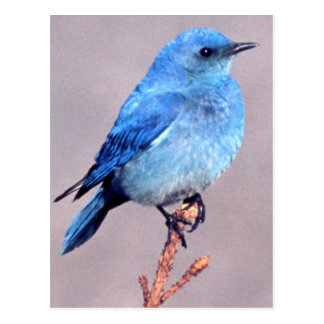 Mountain Bluebird Wildlife Series # 2 Postcard