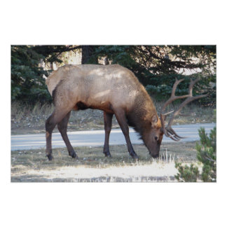 Mountain Bull Elk Photo Nature Wall Poster Mancave