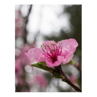 Mountain Cherry Blossom Wildflower Postcard
