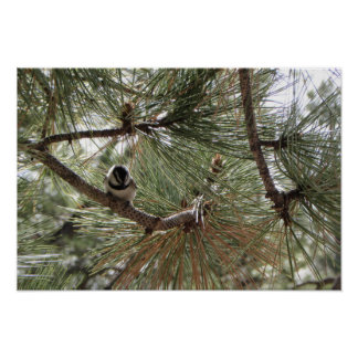 Mountain Chickadee in Pine Tree Poster