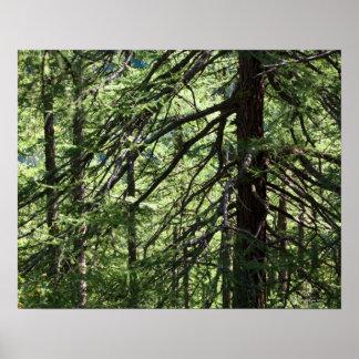 Mountain fir forest poster
