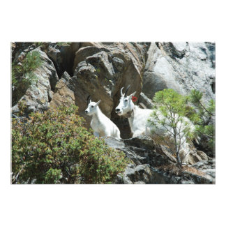 Mountain Goat and Kid - Wildlife Photography Photo Print