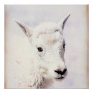 Mountain Goat Baby Poster