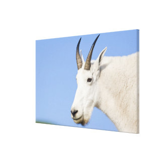 Mountain Goat Billy portrait at Logan Pass in Canvas Print