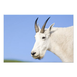 Mountain Goat Billy portrait at Logan Pass in Art Photo
