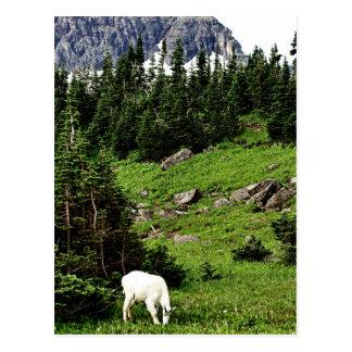 Mountain Goat Grazing Postcard