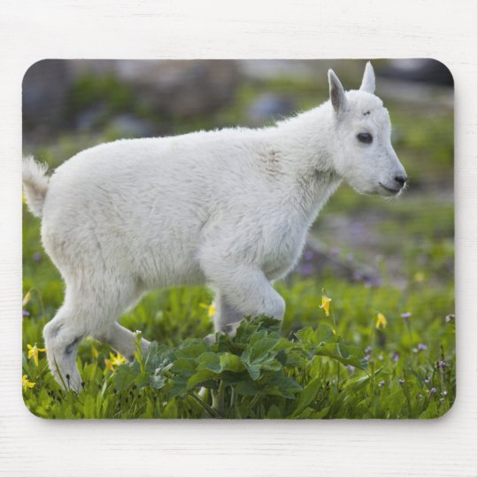Mountain goat kid at Logan Pass in Glacier Mouse Pad