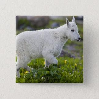 Mountain goat kid at Logan Pass in Glacier Pinback Button