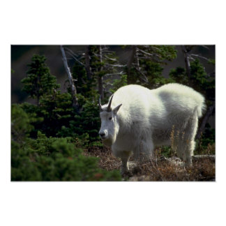 Mountain Goat-male Posters
