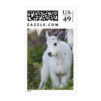 Mountain goat nanny with kid at Logan Pass in Postage Stamp