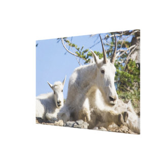 Mountain goat nanny with kid in Glacier National Canvas Print
