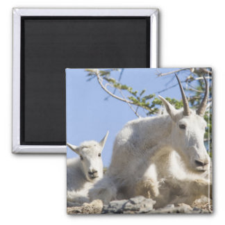 Mountain goat nanny with kid in Glacier National Magnet