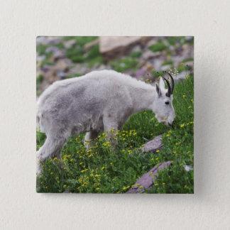 Mountain Goat, Oreamnos americanus, adult with 2 Button