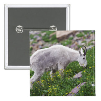 Mountain Goat, Oreamnos americanus, adult with 2 2 Inch Square Button