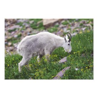 Mountain Goat, Oreamnos americanus, adult with 2 Photo