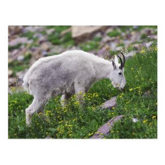 Mountain Goat, Oreamnos americanus, adult with 2 Postcard