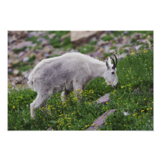 Mountain Goat, Oreamnos americanus, adult with 2 Poster
