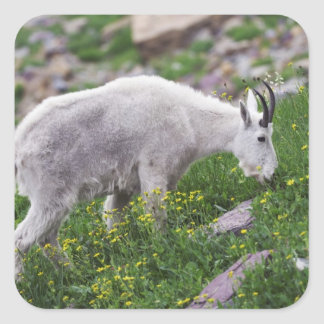 Mountain Goat, Oreamnos americanus, adult with 2 Square Sticker