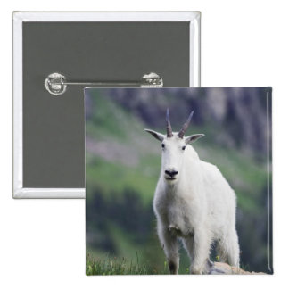 Mountain Goat, Oreamnos americanus, adult with 2 Inch Square Button